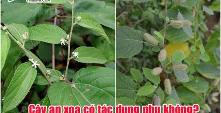 cay-an-xoa-co-tac-dung-phu-khong